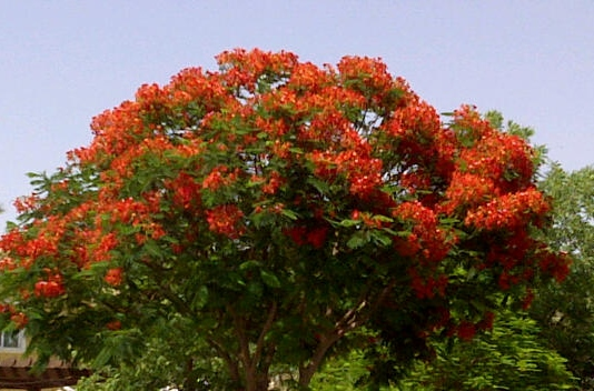I just love this time of year when the flame trees all over Dubai burst into colour like an explosion in a paint factory. Unfortunately, it was a dusty day today so this pic doesn't show the true glory of that vibrant orange-red against the deep blue of the sky. But, trust me, when you see it in the flesh, it's utterly gorgeous.